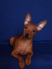 Пинчера карликого щенки 3-4 месяца.