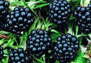 Малина,  вишня,  ежевика,  виноград (саженцы)